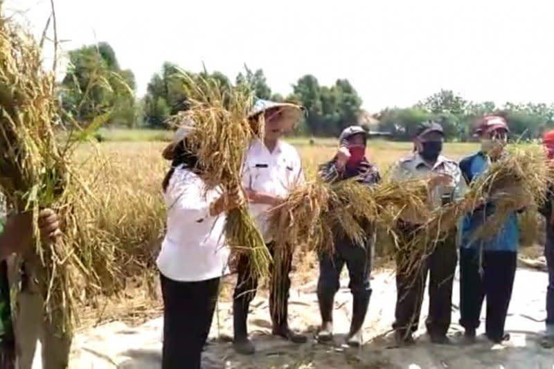Antisipasi stunting, Balitbangtan masyarakatkan padi Inpari Nutri Zinc