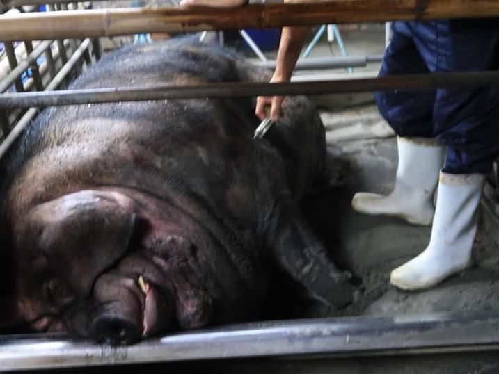 動保團體:健康飼養的豬也能做牲禮