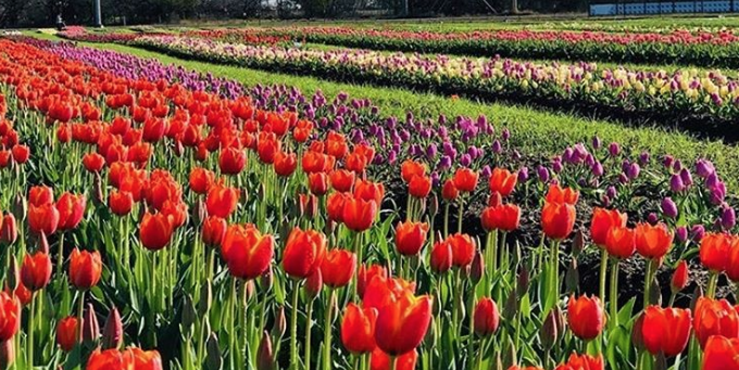 Photo credit: Texas Tulips - Instagram