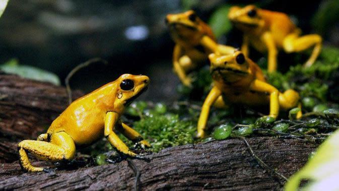Peneliti LIPI Temukan Katak Mini Jenis Baru di Sumatera Selatan