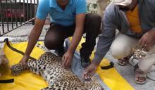 野生豹遭卡車撞擊當場癱瘓 獲暖心救援竟奇蹟復原狂奔回野外!