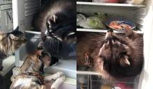 影/胖懶浣熊是「冰箱大盜」 偷吃不夠還躺裡面不離開!
