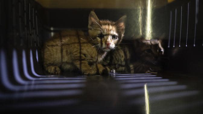 Dua anak kucing berhasil diselamatkan oleh relawan Animals Lebanon dari puing bangunan dekat lokasi ledakan besar di Beirut, Lebanon, Kamis (13/8/2020). Relawan mengaku senang mempertemukan kembali hewan peliharaan dengan pemiliknya. (AP Photo/Felipe Dana)