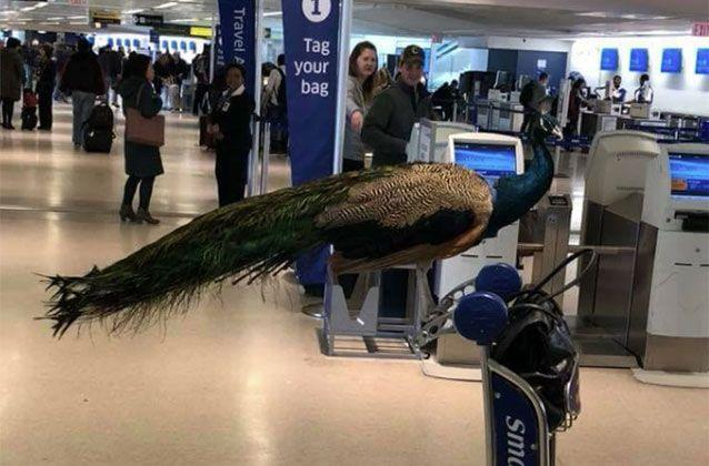 Pictures of the elegant bird atop a luggage trolley at Newark Liberty International Airport were shared to Facebook on Sunday. Source: TheJetSet/Facebook