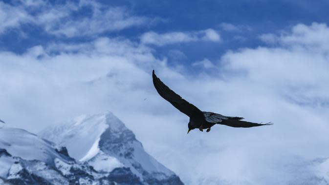 Seekor burung alpine chough (pyrrhocorax graculus) tampak terbang di atas langit Cagar Alam Nasional Gunung Qomolangma, Daerah Otonom Tibet, China barat daya, pada 19 April 2020. (Xinhua/Sun Fei)