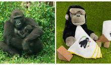 金剛猩猩「二寶」命名 Ringo或Kijani讓您選,有好禮!