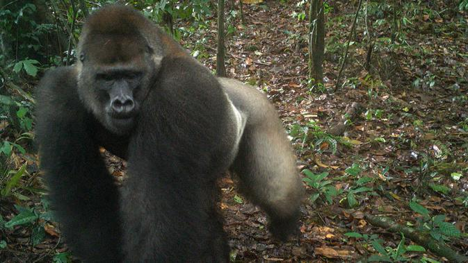 Foto yang diambil oleh jebakan kamera menunjukkan gorila Cross River di Pegunungan Mbe di Nigeria pada 22 Mei 2020. Masyarakat Konservasi Satwa Liar (WCS) mengatakan penampakan ini menimbulkan harapan bahwa hewan yang berisiko punah itu masih bisa bereproduksi. (WCS Nigeria via AP)