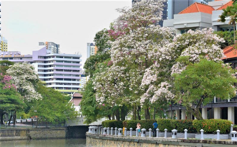 Trumpet Trees along the Singapore River. Photo: Tee Swee Ping/NParks Facebook page