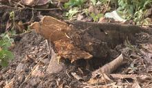 專家:薄扶林道塌樹板根受真菌侵蝕 頭重腳輕終撐不住
