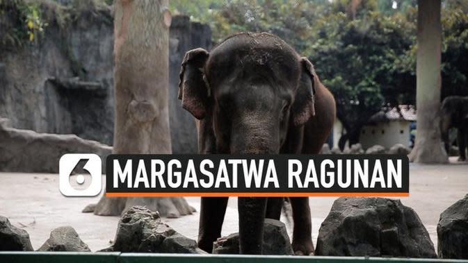 VIDEO: Taman Margasatwa Ragunan Mulai Dibuka Hanya Warga DKI Jakarta