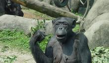 黑猩猩阿美惡性腫瘤復發 北市動物園:手術麻醉中過世