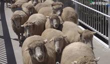 清境綿羊秀爭議 馮世寬:不可能取消 羊也很喜歡
