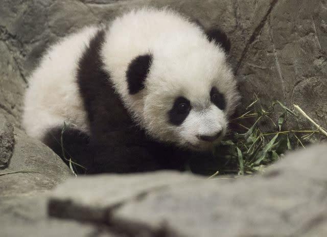 Giant panda Bei Bei, soon to go bye-bye, turns four in US