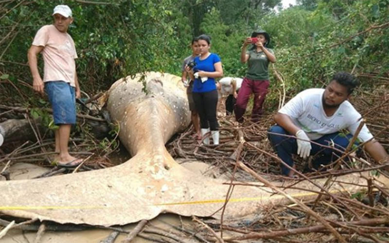 36-Foot Whale Found Dead... In The Middle Of Amazon Jungle