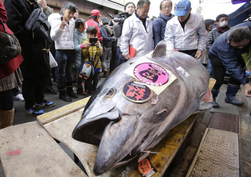 People watch a bluefin tuna laid in front of a sushi restaurant near Tsukiji fish market after the year's celebratory first auction, in Tokyo Sunday, Jan. 5, 2014. Japanese eat about 80 percent of all bluefin tuna caught worldwide, though demand is growing as others acquire a taste for the tender, pink and red flesh of the torpedo-shaped speedsters of the sea. (AP Photo/Shizuo Kambayashi)