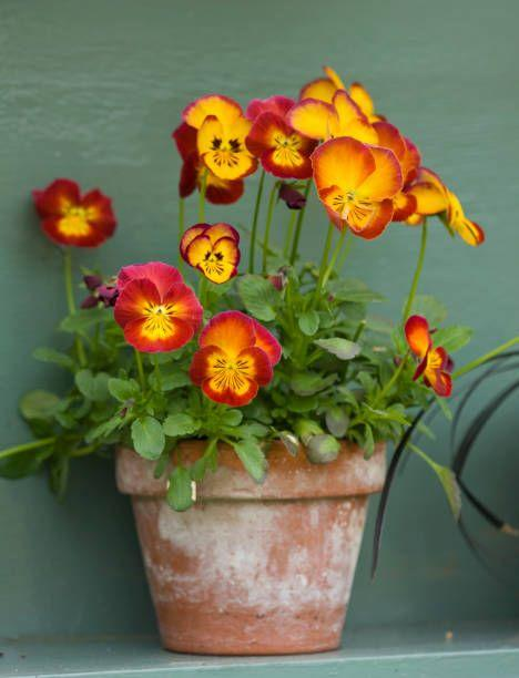 """<p>In mild climates, pansies will bloom all winter long. Plant them now, mulch well, and keep watered as they get established. Their bright colors and pretty, little """"faces"""" will make you smile on all the grey winter days ahead. </p><p>Varieties to try: Plentifall Frost, Plentifall White</p><p><a class=""""body-btn-link"""" href=""""https://go.redirectingat.com?id=74968X1596630&url=https%3A%2F%2Fwww.burpee.com%2Fflowers%2Fpansies%2Fpansy-spreading-plentifall-white-prod000309.html&sref=https%3A%2F%2Fwww.housebeautiful.com%2Flifestyle%2Fgardening%2Fg33645119%2Fwhat-to-plant-in-november%2F"""" target=""""_blank"""">SHOP NOW</a></p>"""