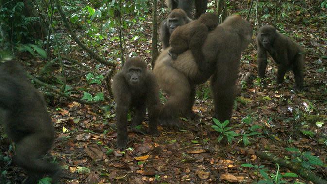 Foto yang diambil oleh jebakan kamera menunjukkan sekelompok gorila Cross River di Pegunungan Mbe di Nigeria pada 22 Mei 2020. Gorila cenderung menghindari manusia, dan beberapa populasi mereka telah menjadi target pemburu di masa lalu. (WCS Nigeria via AP)