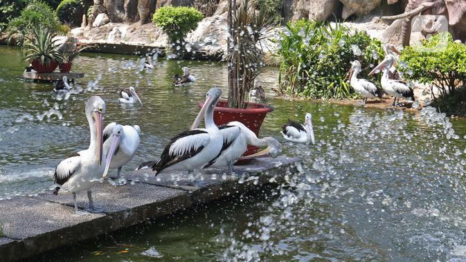 Kawanan Burung Pelikan di Taman Margasatwa Ragunan, Jakarta, Sabtu (1/8/2020). Di masa pandemi corona ini, Ragunan sepi pengunjung di libur panjang Idul Adha 1441 H dibandingkan tahun lalu. (Liputan6.com/Herman Zakharia)