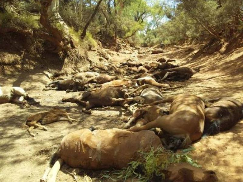 Brumbies dead in the Northern Territory: Rohan Smyth believes the wild horses died from dehydration.