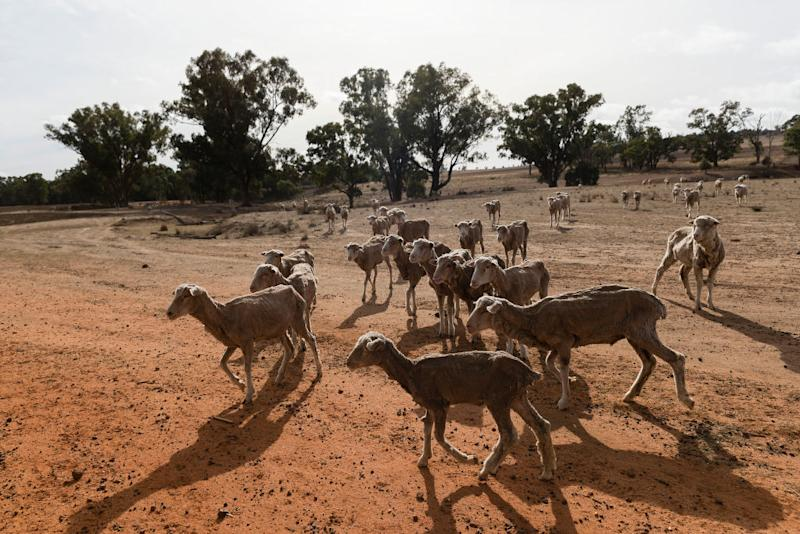 Sheep on a farming property 40 km outside Coonabarabran in NSW as the drought continues to grip the state. Photo: Brook Mitchell/Getty Images