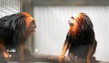 初次見面請多指教!北市動物園新朋友:金頭獅狨、黑吼猴 5月中旬見客