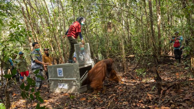 Orangutan mencari makan ke kebun warga karena mereka tidak punya pilihan lagi akibat rumahnya yang musnah. (Foto: IAR Indonesia untuk Aceng Mukaram/Liputan6.com)