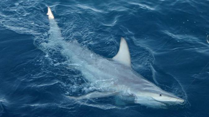 Ilustrasi hiu (AFP)