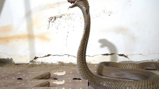 Ular Kobra Besar Masuk Rumah dan Menyerang Saat Lockdown