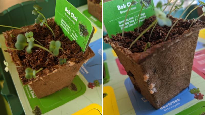 Mum Nicole Wilson's Discovery Garden bok choi plant (left and right) started to sprout what appeared to be mould.