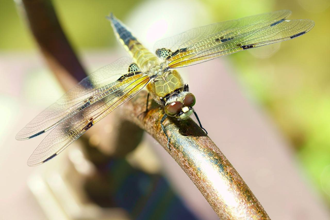 <p><strong>Four-spot Skimmer Dragonfly<br><br></strong>This spritely little bug became the state insect in 1995. <strong></strong></p>