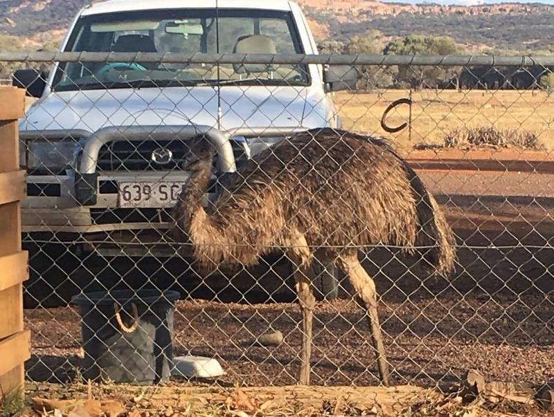 Pub di pedalaman Australia larang emu karena perilaku buruk