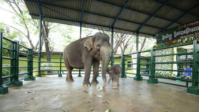 Dumbo, anak gajah yang lahir di Kebun Binatang Surabaya (Foto:Liputan6.com/Dian Kurniawan)