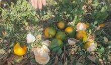 久旱不雨多曬傷!苗栗柑橘缺水賣相差