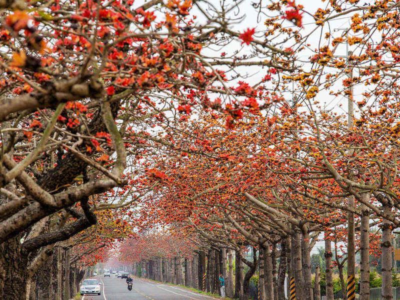 台南市區:火紅木棉
