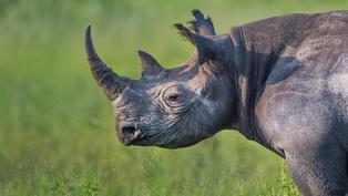 非洲黑犀牛被捕殺的殘酷命運|當這地球沒有牠