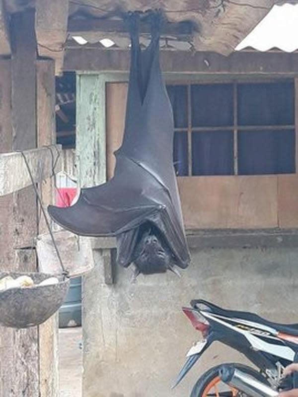 Viral, Kelelawar Sebesar Anak Manusia Menggantung di Depan Rumah (Sumber: Twitter/@AlexJoestar622)