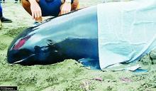 瓜頭鯨擱淺林口外海 公私協力接棒即刻救援