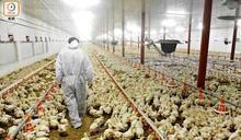 法韓及波蘭爆高致病性H5N8禽流感 港停進口禽類產品