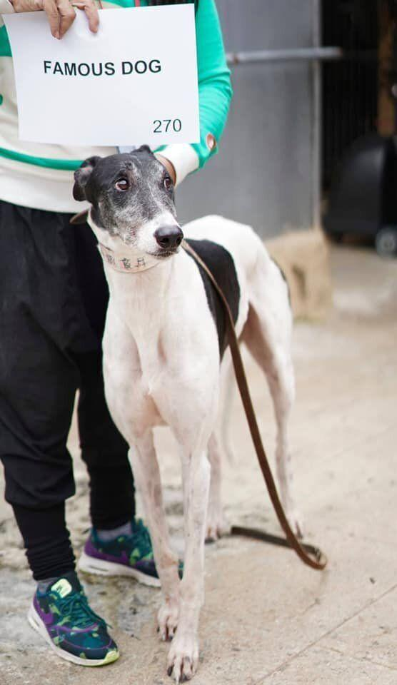 Famous Dog is an Australian greyhound who was sent to Macau between 2012 and 2013 after he failed to place in two races in Victoria.
