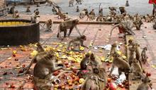 35隻猴打群架!1個動作…他命沒了