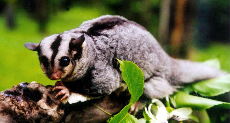 The light turned out to be a mahogany glider (pictured is a stock image of the animal) which uses launching poles to get across the busy Bruce Highway.