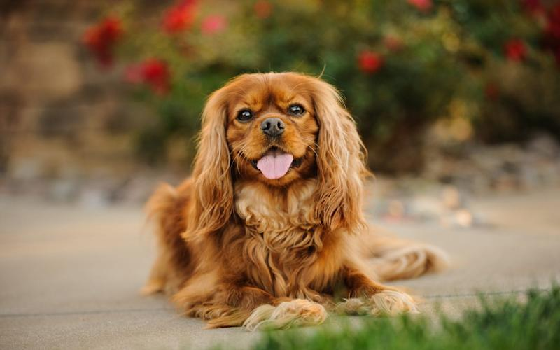 Cavalier King Charles spaniels are also affected by the ban - EYEEM