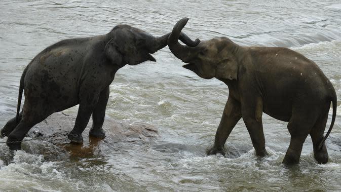 Gajah bermain saat mandi sehari-hari di sungai di Panti Asuhan Gajah Pinnawala di Pinnawala, Kolombo (11/8/2020). Hari Gajah Sedunia dirayakan setiap tahun pada 12 Agustus untuk menyebarkan kesadaran tentang pelestarian dan perlindungan gajah. (AFP/Lakruwan Wanniarachchi)