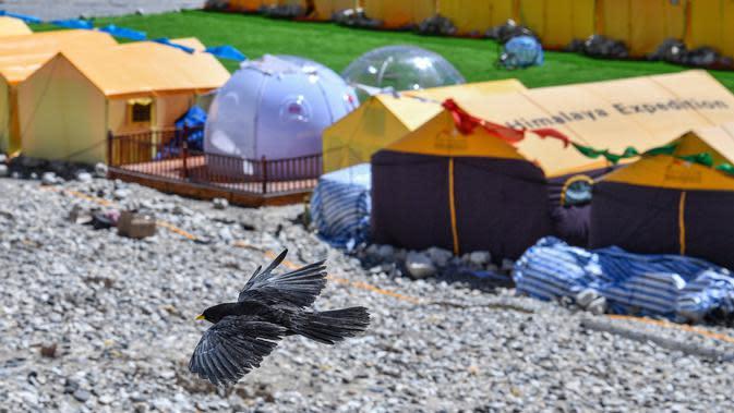 Seekor burung alpine chough (pyrrhocorax graculus) terbang di dekat area perkemahan Gunung Qomolangma, Daerah Otonom Tibet, China barat daya, pada 19 April 2020. (Xinhua/Sun Fei)