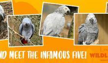 英動物園鸚鵡愛爆粗口遭隔離 網聲援:就想被牠罵