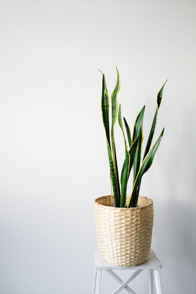 """<p><a class=""""body-btn-link"""" href=""""https://www.amazon.com/Costa-Farms-Sansevieria-Growers-12-Inches/dp/B07TVK6DC2/?tag=syn-yahoo-20&ascsubtag=%5Bartid%7C10057.g.31355906%5Bsrc%7Cyahoo-us"""" target=""""_blank"""">BUY NOW</a> <strong><em>$28, amazon.com</em></strong><strong><em><em></em></em></strong></p><p>Snake plants are still so popular for a reason: they're incredibly hands-off and easy to care for. """"They <a href=""""https://www.housebeautiful.com/lifestyle/gardening/g2628/low-light-houseplants/"""" target=""""_blank"""">don't need a ton of light</a>, and they can handle quite a bit,"""" Stearns told <em>House Beautiful</em> <a href=""""https://www.housebeautiful.com/lifestyle/gardening/a26626305/popular-houseplants-spring-2019/"""" target=""""_blank"""">in 2019</a><em></em>. """"And they like to get really dry between waterings.""""</p>"""