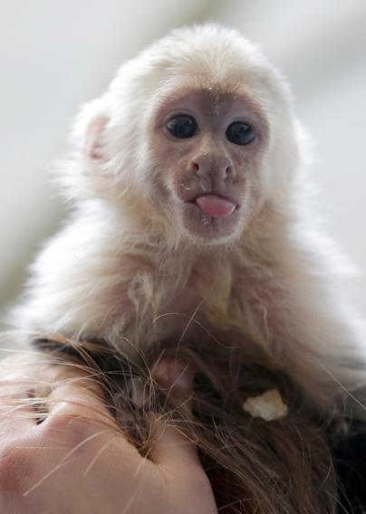 "Capuchin monkey 'Mally"" sits on the head of an employee in an animal  shelter in Munich, Germany, Tuesday, April 2, 2013. Canadian singer Justin Bieber had to leave the monkey last Thursday in quarantine after arriving in Munich without the necessary documents for the animal. (AP Photo/Matthias Schrader)"