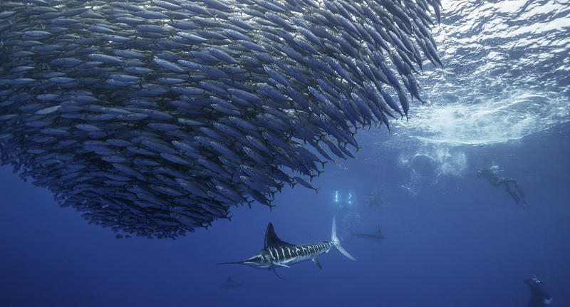 Striped marlin hunting mackerel as divers look on.