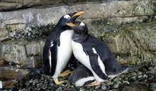 企鵝也懂多元成家!西班牙水族館喜迎女女伴侶成功孵蛋