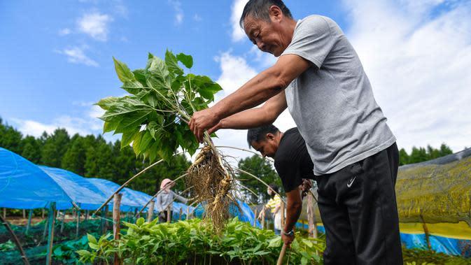 Seorang petani ginseng memanen ginseng di Desa Dafang di Wanliang, Wilayah Fusong, Provinsi Jilin, China timur laut, pada 28 Agustus 2020. Wanliang terkenal dengan industri ginsengnya. (Xinhua/Xu Chang)